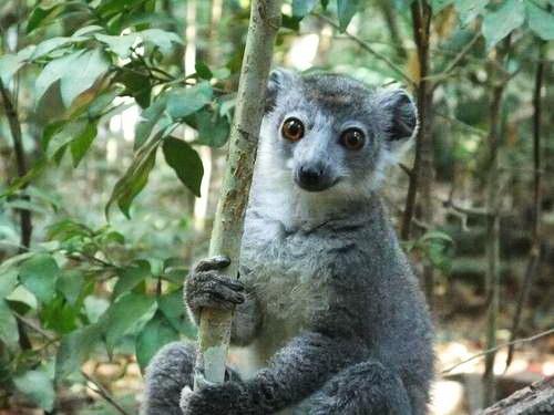 למור, מדגסקר