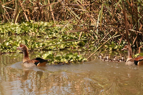 אווז מצרי באגם נייבשה