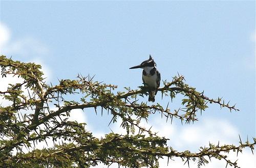 פרפור עקוד על עץ שיטה
