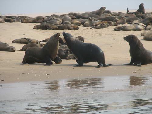 כלבי ים לחופי וולביס ביי, נמיביה