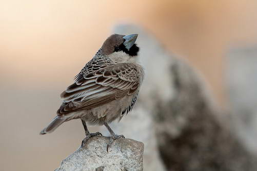 ציפור שיר בשמורת אטושיה, נמיביה