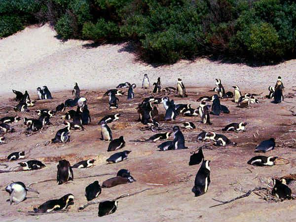 פינגווינים בדרום אפריקה