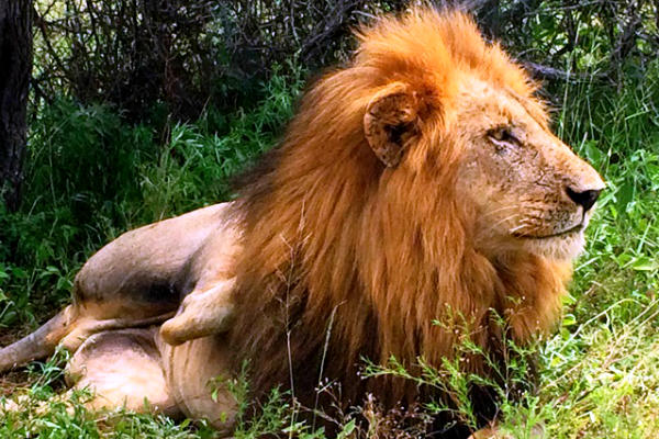 אריה בספארי, דרום אפריקה