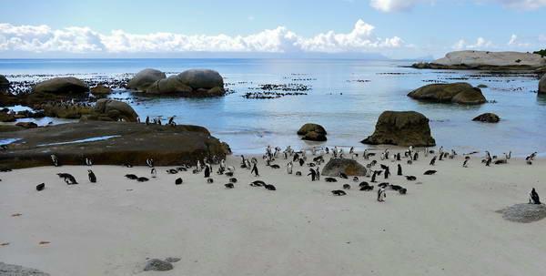 פינגווינים, סימונס טאון, קייפטאון, דרום אפריקה