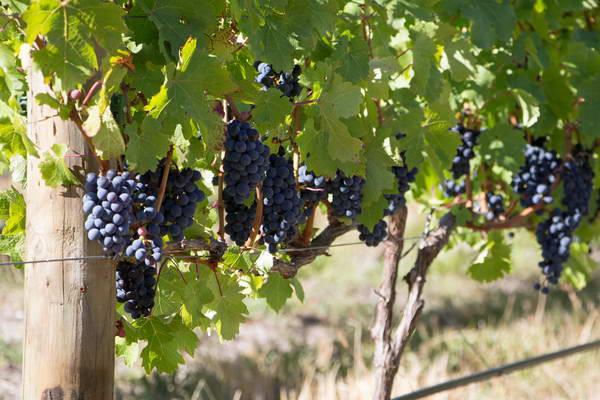 ארץ היין