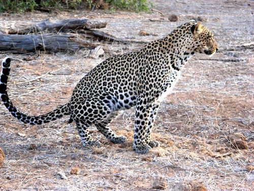 נמר באחד הפארקים הלאומיים של דרום אפריקה