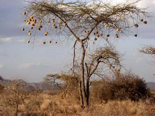 קני אורגים על עץ שיטה