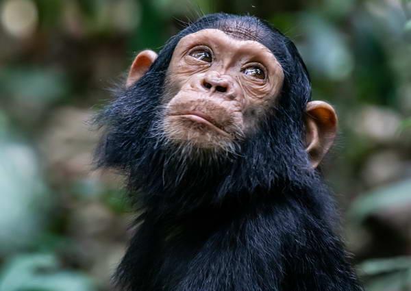 אוגנדה - שימפנזים ביער קיבלה