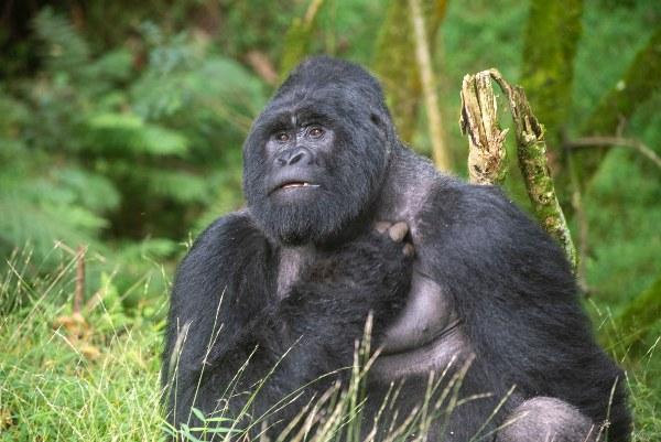 גורילות, אוגנדה