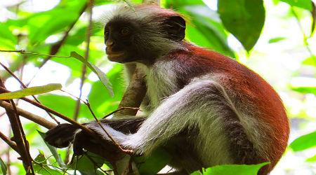 קופים בזנזיבר
