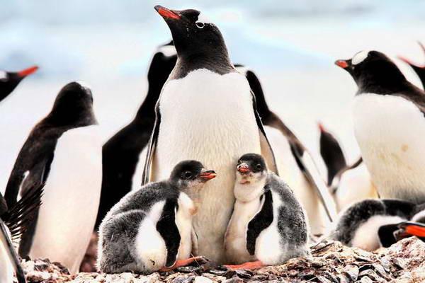 שייט לאנטארקטיקה, פינגווינים