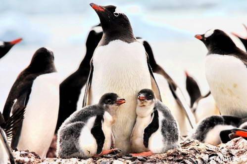 הפלגות לאנטארקטיקה, פינגווינים