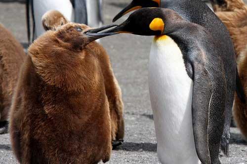 אנטארקטיקה, פינגווינים