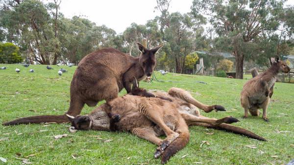 קנגורו, אוסטרליה