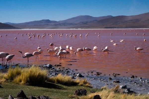 פלמינגו בלגונה האדומה במדבר הסלאר, בוליביה