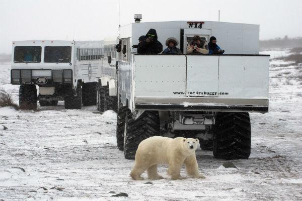 דובי קוטב בצ'רצ'יל