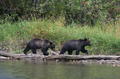 רכס הרי החוף, מערב קנדה, דובים, בלה קולה