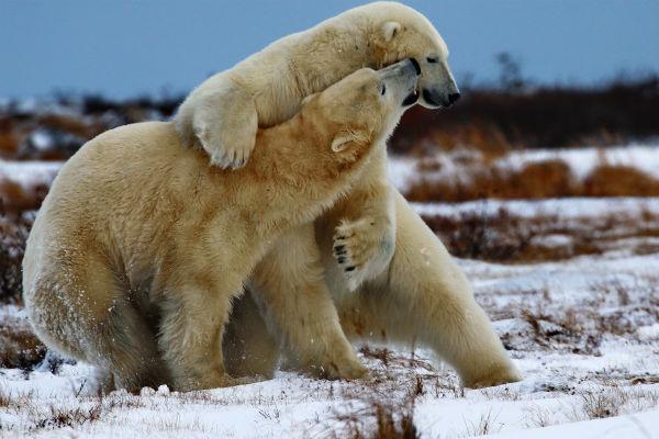 דובים לבנים, צ'רצ'יל, קנדה