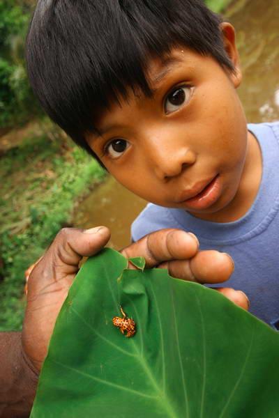 צפרדע אדומה, פנמה