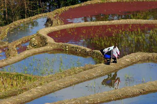 בת שבט יי מטפלת בקיר הטרסה, אצות אדומות מכסות את פני המים