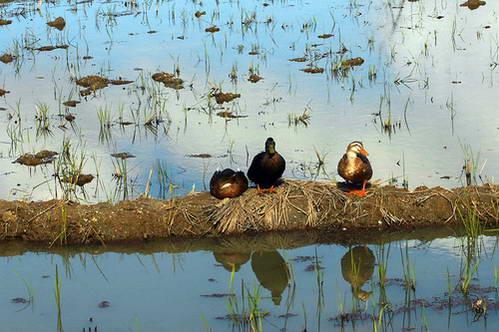 גידול ברווזים בשדות האורז