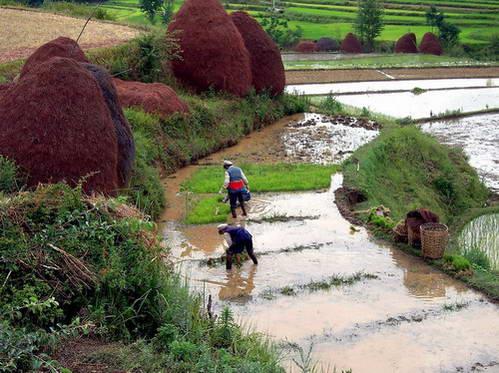 שתילת אורז עם בוא האביב