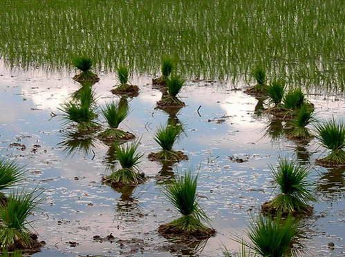 אלומות שתילי אורז מוכנים לשתילה