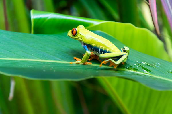 צפרדעים זעירות בשמורת טורטוגרו