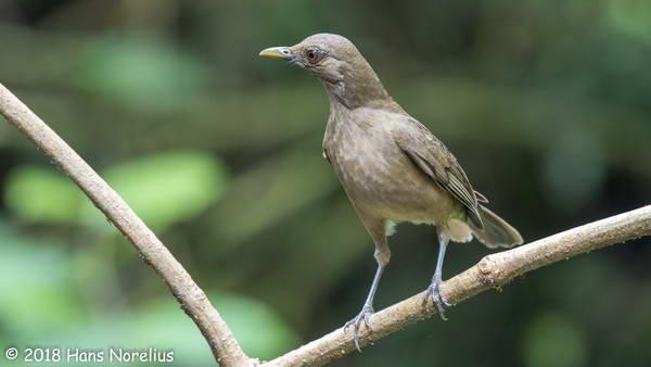 הציפור הלאומית של קוסטה ריקה