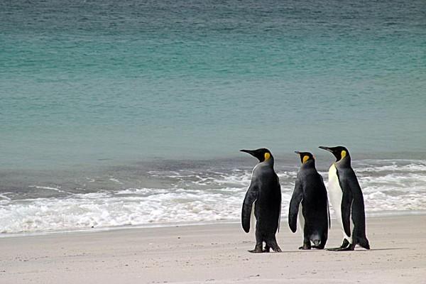 פינגווינים, איי פוקלנד