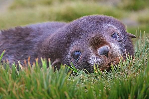 גור אריות ים, איי פוקלנד