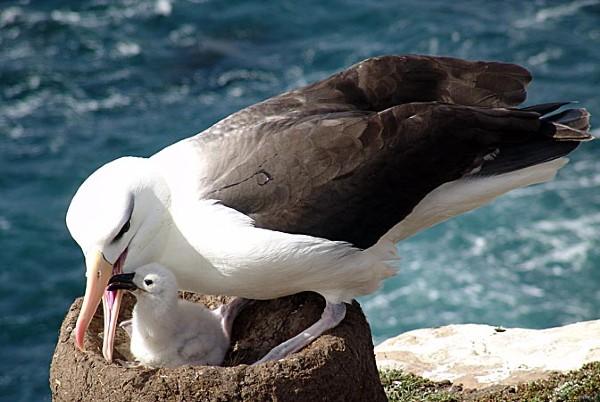 אלבטרוס שחור-גבה, איי פוקלנד