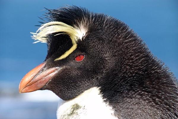 פינגווין הסלעים, איי פוקלנד