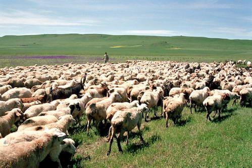 פסטורליה אמיתית - רועה הכבשים גאורגי