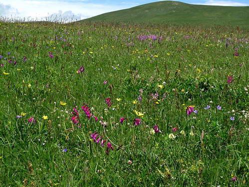 אחו אלפיני פורח, פרחים בגאורגיה