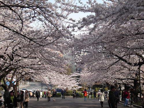 פריחת הדובדבן, יפן