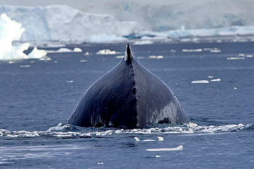 שפיצברגן, לוויתן מינקי