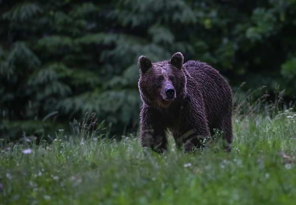 צפייה בדובים ברומניה