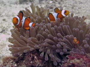צלילה בתאילנד, קו לנטה