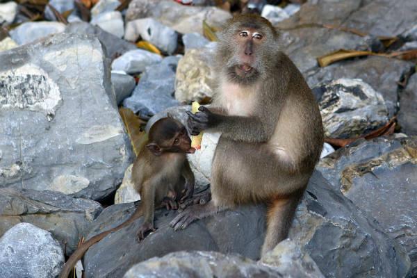 קופי מקוק אוכלים אבטיח בתאילנד
