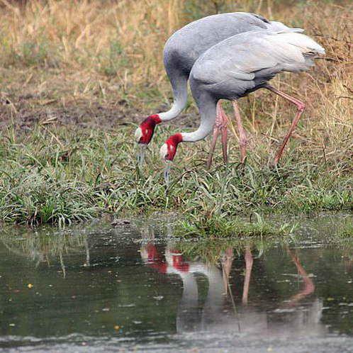 צמד עגורים שאינם נפרדים זה מזה, וחורפים קבוע בשמורה זעירה בהודו